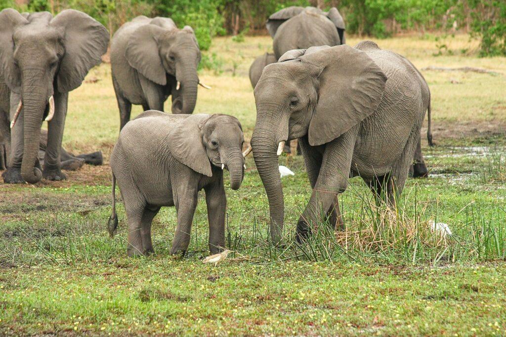 Afriškemu gozdnemu slonu zaradi lova in izgube habitata grozi izumrtje